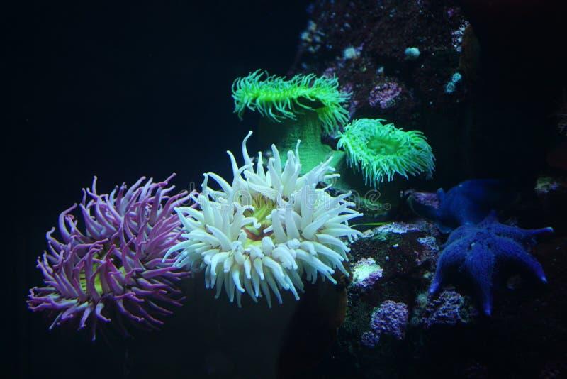 海葵-五颜六色的品种 免版税库存照片