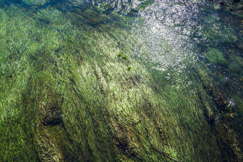 海藻和水草在流动的浅小河下- 2 免版税库存照片
