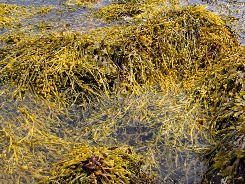 海藻棕色墨角藻属植物 库存照片