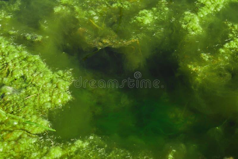 海藻池塘 免版税图库摄影