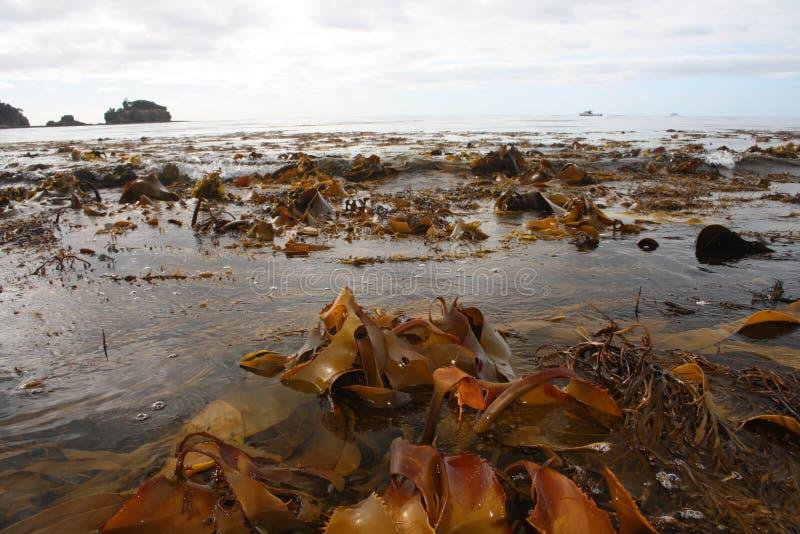 海藻海洋海滩塔斯马尼亚 库存图片