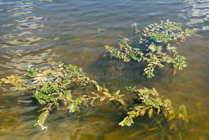 海藻照片在河水的 库存图片