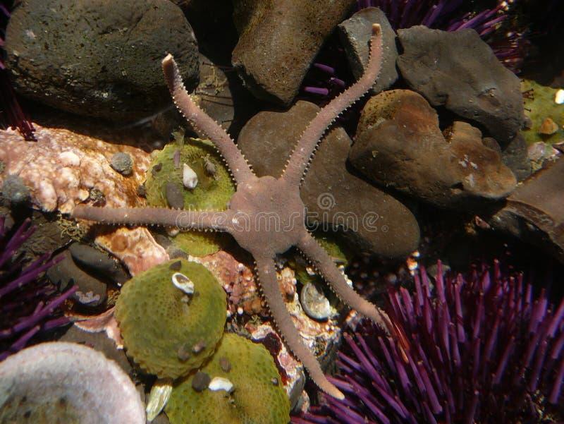 海蛇尾 库存照片