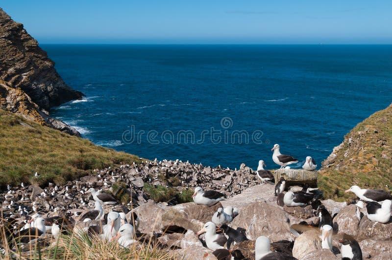 海观点的信天翁繁殖的殖民地 库存图片
