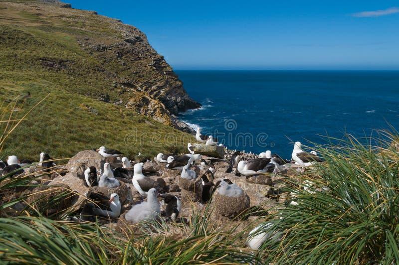 海观点的信天翁繁殖的殖民地 库存照片