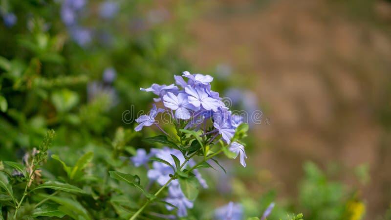 海角开花在绿叶叶子和模糊的背景的白花丹属植物的蓝色微小的瓣花束,知道作为白色石墨 库存照片
