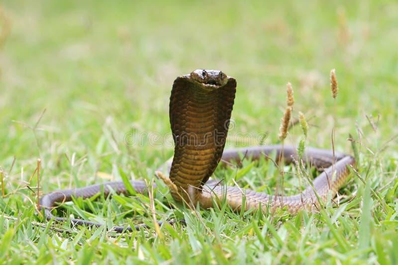 海角眼镜蛇蛇 免版税库存照片