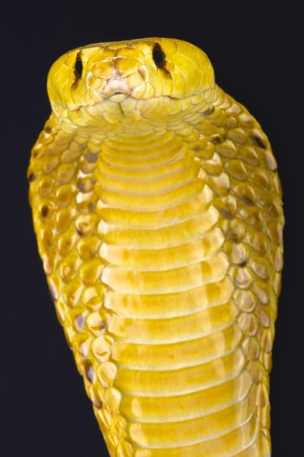 海角眼镜蛇(眼镜蛇nivea) 库存照片