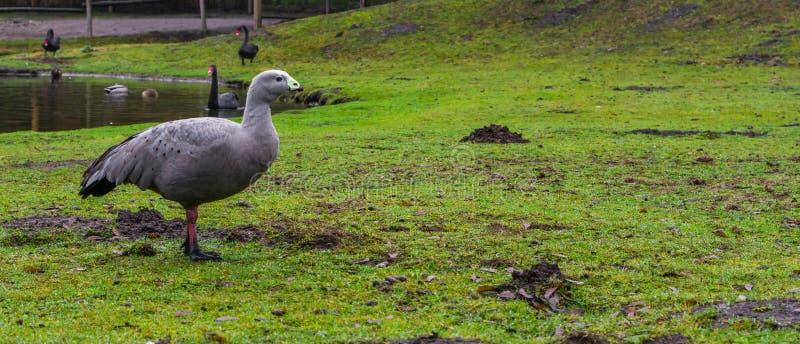 海角贫瘠鹅身分的画象在水边的,从澳大利亚的海岸的waterbird 库存照片