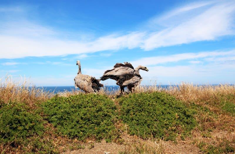 海角贫瘠鹅Cereopsis novaehollandiae 库存图片