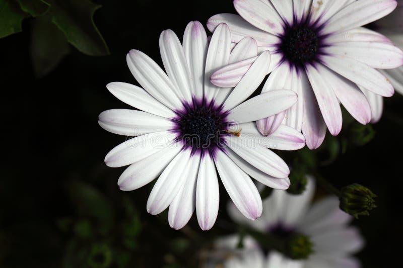 海角延命菊& x28; 非洲雏菊ecklonis& x29; 免版税库存照片