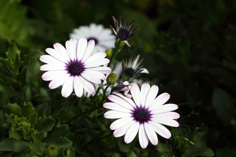 海角延命菊& x28; 非洲雏菊ecklonis& x29; 库存照片