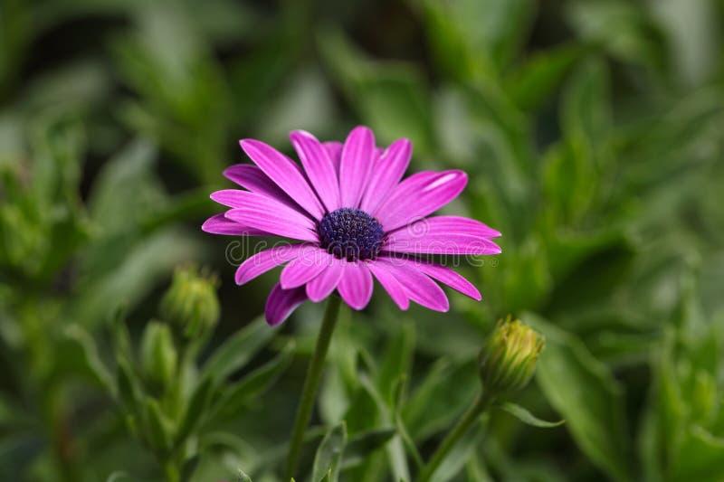 海角延命菊& x28; 非洲雏菊ecklonis& x29; 库存图片