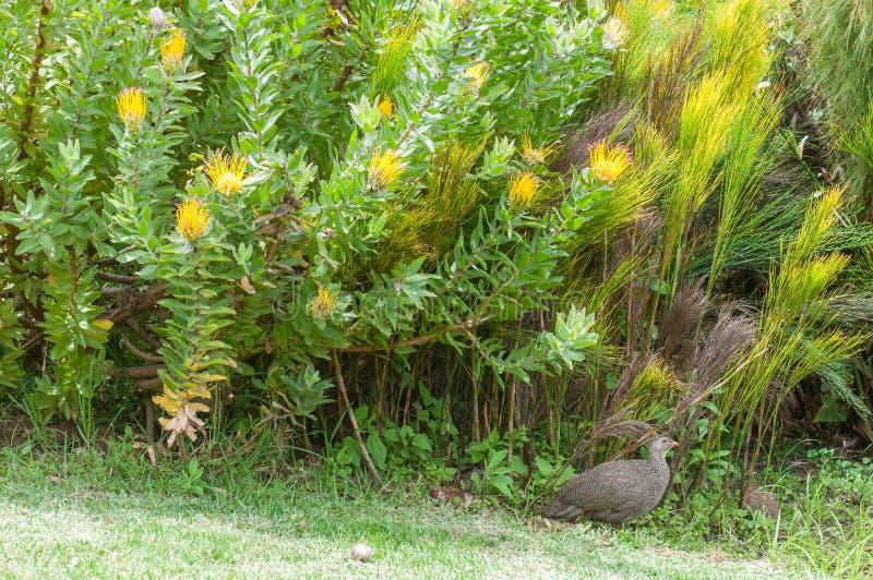 海角spurfowl或海角francolin在Kirstenbosch 免版税库存照片