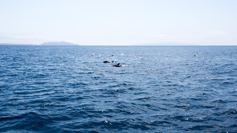 海豚临近Channel岛,加利福尼亚 免版税库存照片