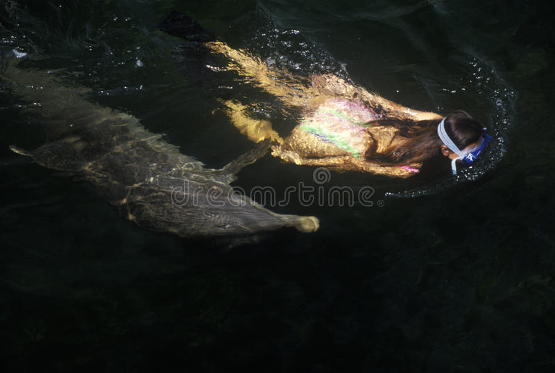 海豚和女性游泳者、海洋哺乳动物研究和教育中心,基拉戈, FL 免版税图库摄影