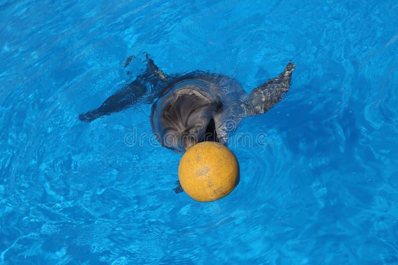 海豚和球 免版税图库摄影