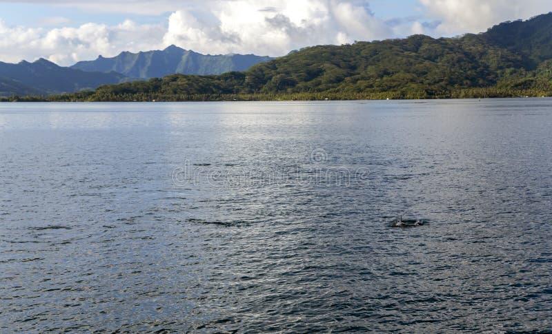 海豚在塔哈岛海岛附近的太平洋 免版税库存照片