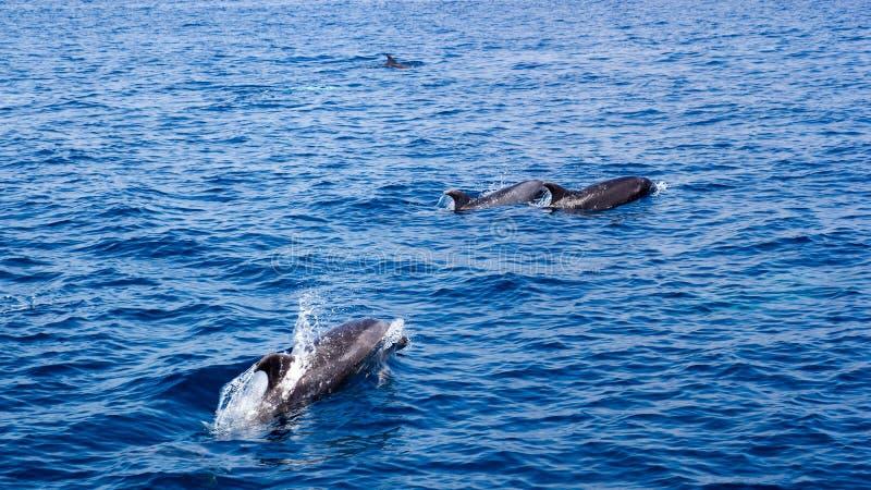 海豚在开放海洋 免版税库存照片