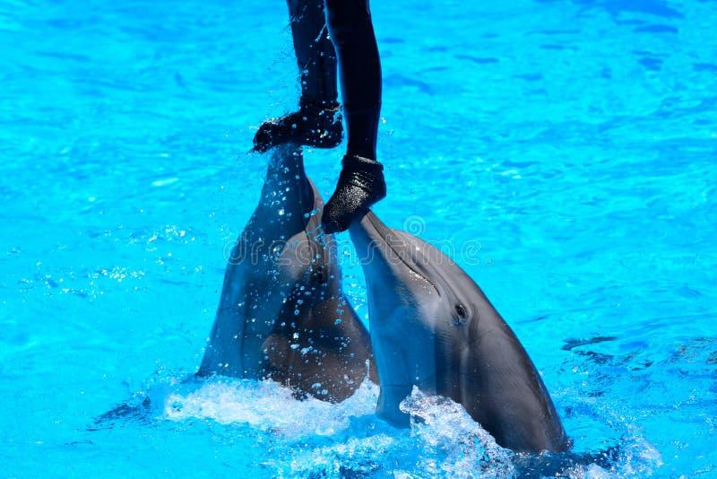 海豚展示 免版税图库摄影
