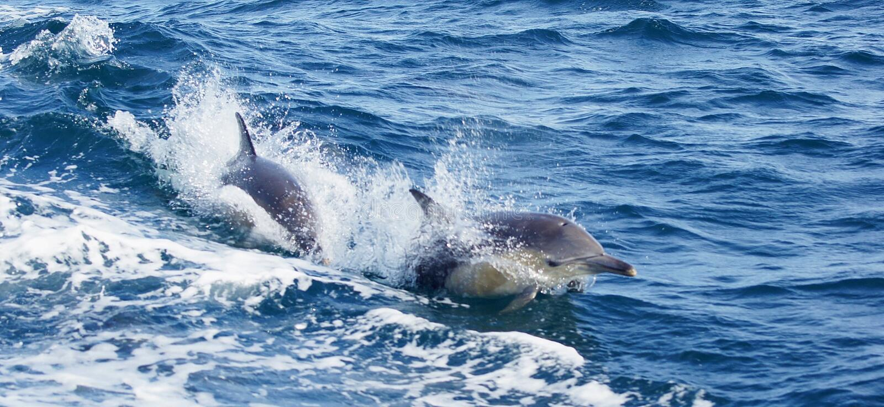 海豚沿着小船游泳 库存照片