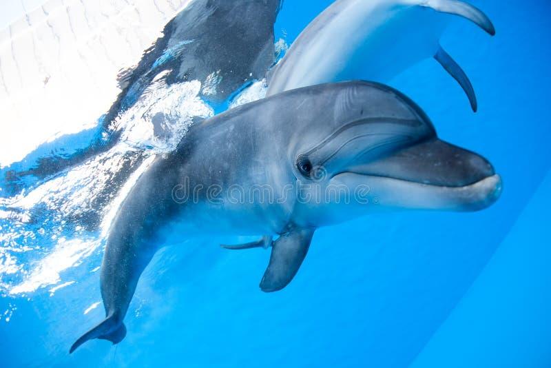 海豚游泳在水下 免版税库存照片