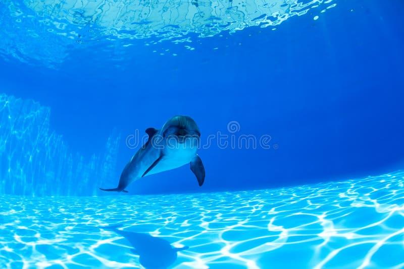 海豚游泳在水下 库存图片