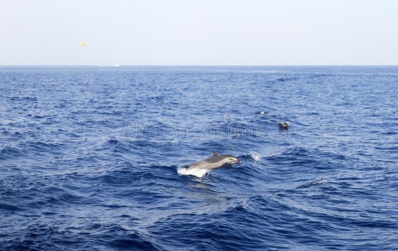 海豚红海 库存图片