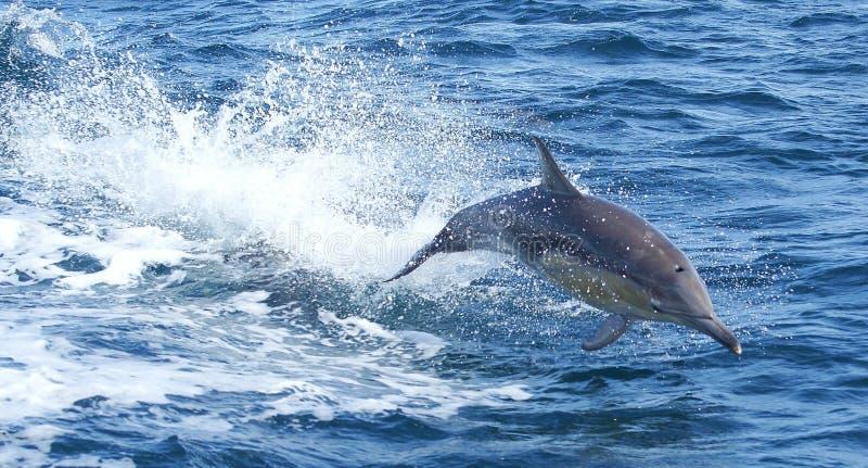 海豚飞行通过水 库存照片