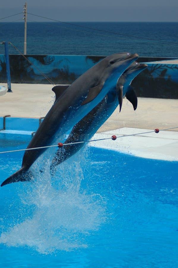 海豚飞行 库存照片