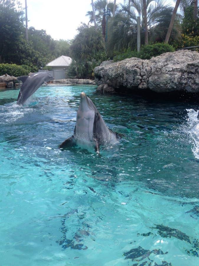海豚飞跃 免版税图库摄影