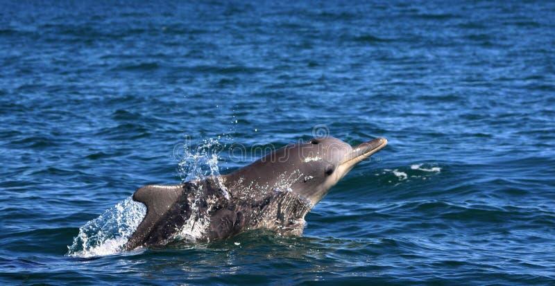 海豚驼背 免版税库存照片