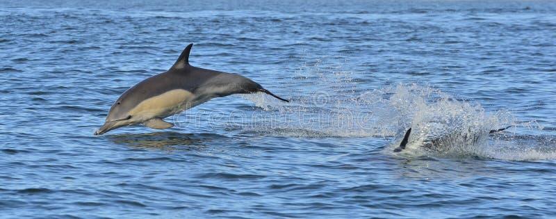 海豚,游泳在海洋 海豚游泳和跳跃从水 长钩形的海豚科学名字:Delphinu 库存图片