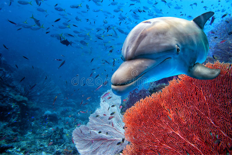海豚水下在蓝色海洋背景 免版税图库摄影