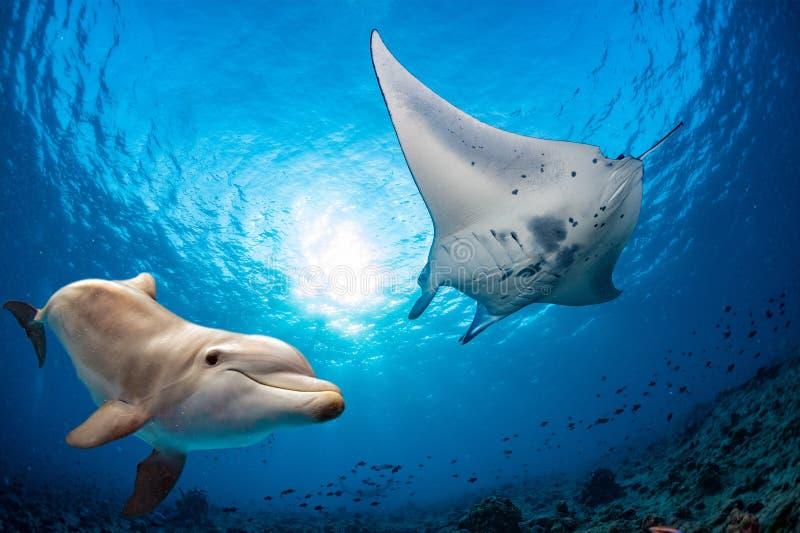 海豚水中遇见一个女用披巾 免版税库存照片