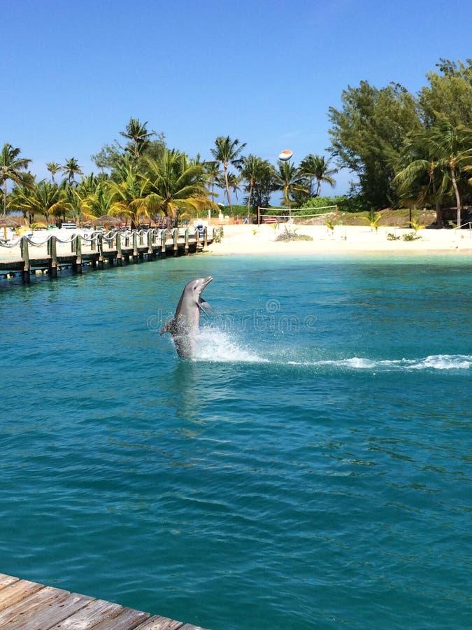 海豚巴哈马 库存图片