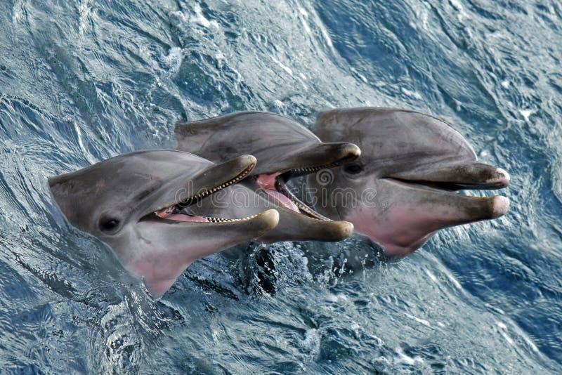 Download 海豚 库存照片. 图片 包括有 眼睛, 蓝色, 引导, 哺乳动物, 作用, atlantes, 节假日, 愉快 - 30338232
