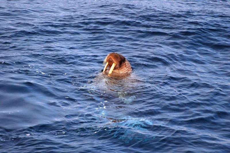 海象属和平的rosmarus海象 免版税库存照片
