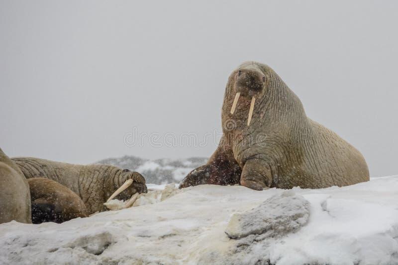 海象殖民地-汉堡Bukta -卑尔根群岛 库存图片