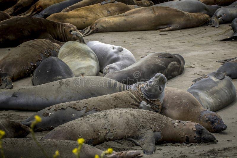 海象看在加利福尼亚海滩的照相机与黄色花 库存照片