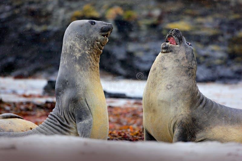 海象, Mirounga leonina,在沙子海滩的战斗 有岩石的海象在背景中 两在nat的大海洋动物 图库摄影