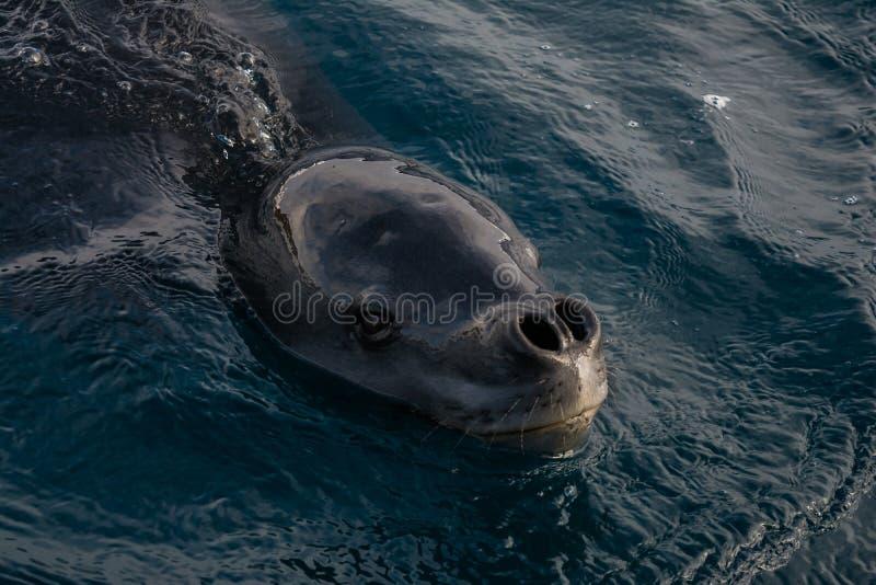 海豹子 免版税库存图片