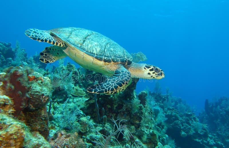 海运水下游泳的乌龟 库存图片