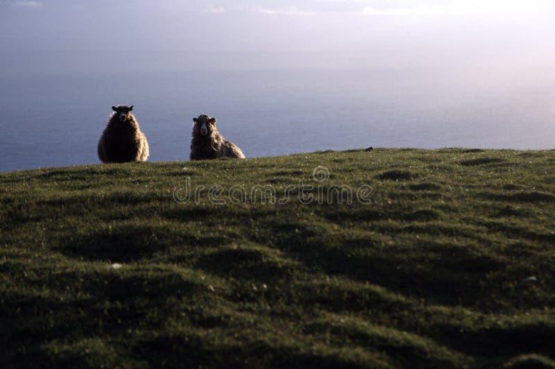 海运绵羊 图库摄影