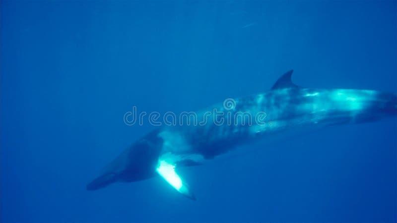 海里的小须鲸,南极半岛 库存照片