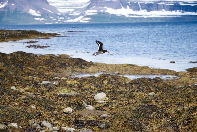 黑海雀科的鸟在飞行中, Vigur海岛,冰岛 图库摄影