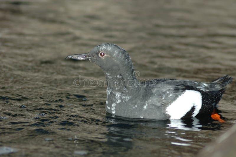 海雀科的鸟 图库摄影