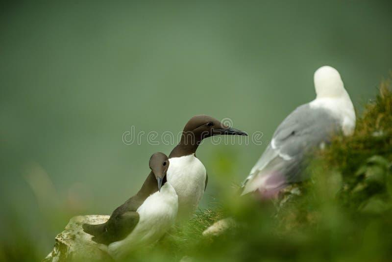 海雀科的鸟 免版税库存照片