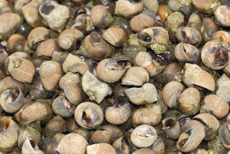 海鲜未煮过的蛾螺 免版税图库摄影