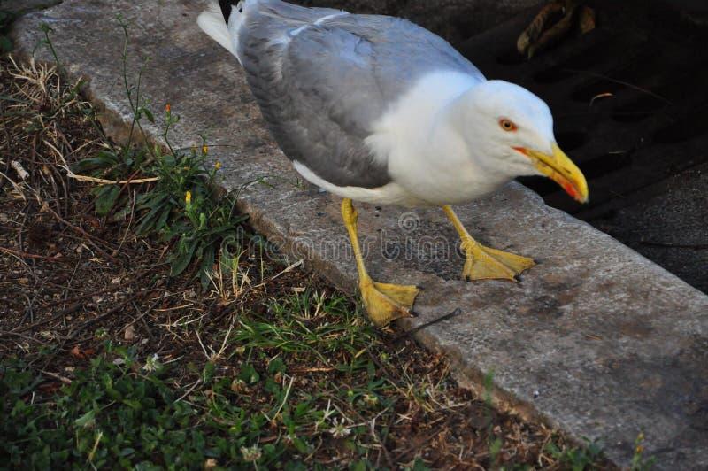 海鲱鸥在寻找食物的公园 库存图片